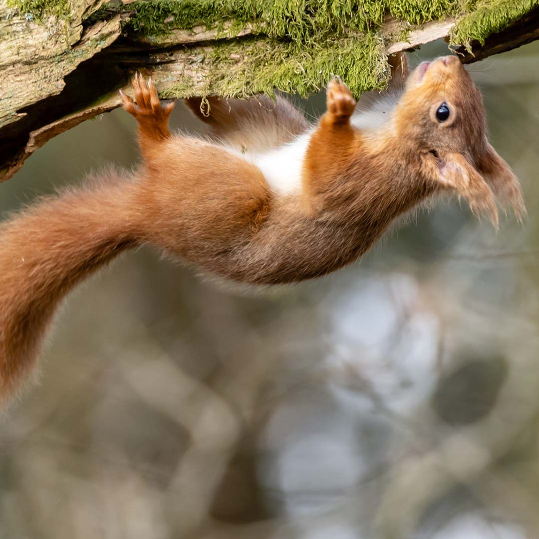 Vital protections for red squirrels at risk