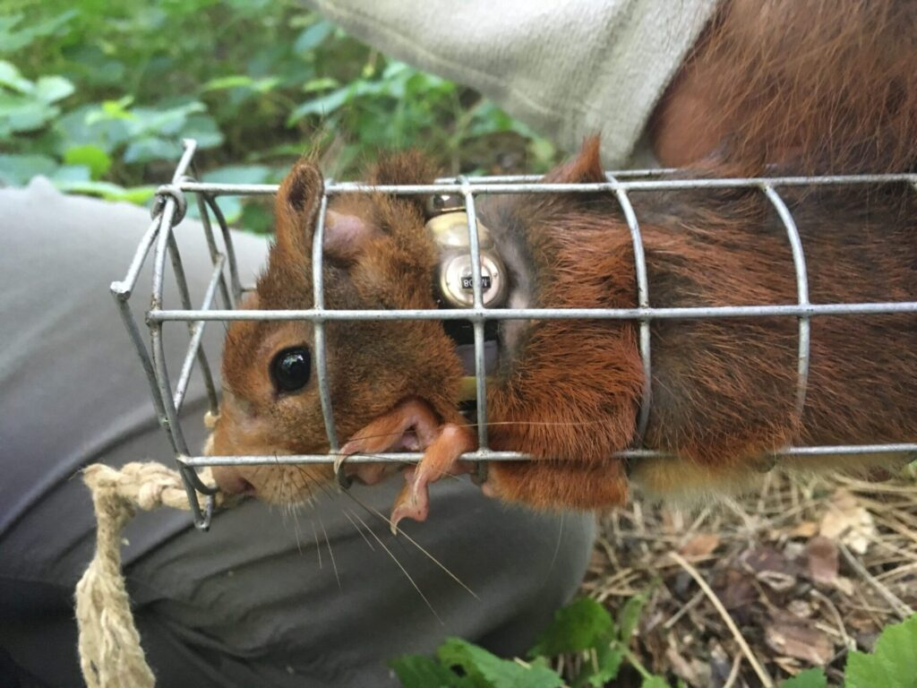 red squirrel in cage with fitted radio collar