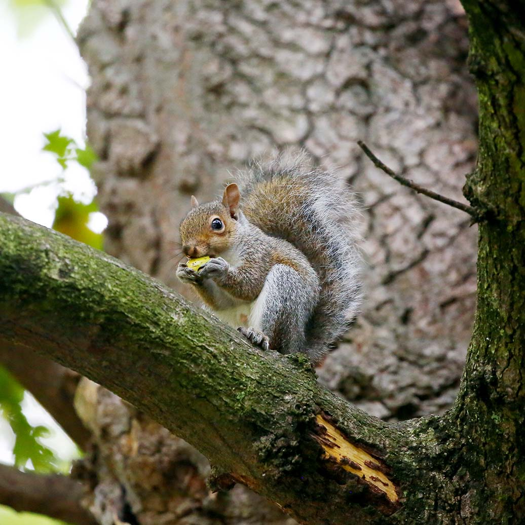 New threat to Perthshire's red squirrels as greys reappear in Aberfeldy